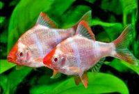 Aquascape ikan sumatra