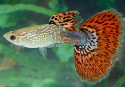 ikan guppy green red dragon