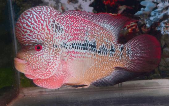 Ikan Louhan Cencu (Zhen Zhu)