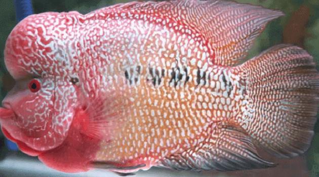 Ikan Louhan Kemalau