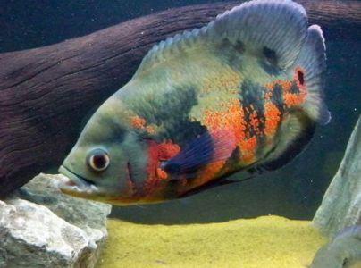 ikan hiias oscar