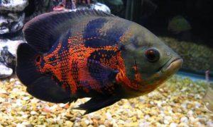 Ikan-Oscar-Tiger