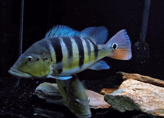 Ikan Peacock Bass Azul