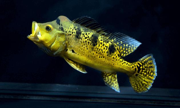 Ikan Peacock Bass Kelberi