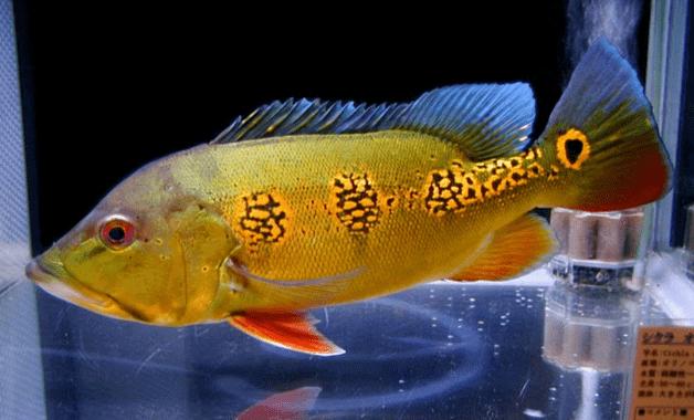ikan pbasss orinoco