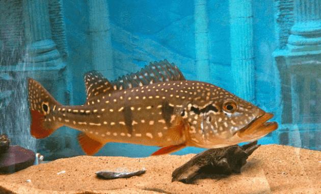 Ikan Peacock Bass Temensis