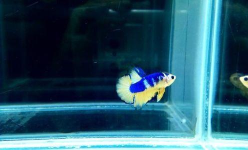 ikan cupang di aquarium
