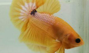 ikan cupang warna kuning