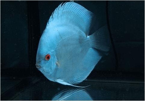 jenis ikan discus blue diamond