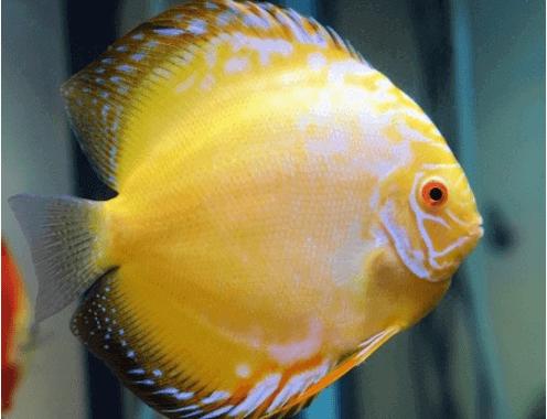 Ikan discus gold yellow
