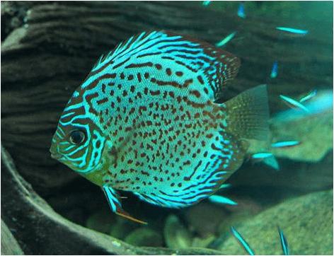 ikan discus green
