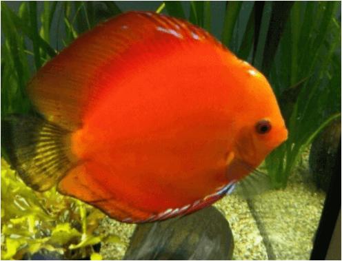 jenis ikan discus malboro