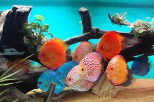 jenis jenis ikan discus