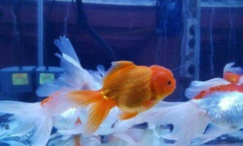 ikan koki oranda