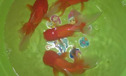 membersihkan akuarium ikan koki