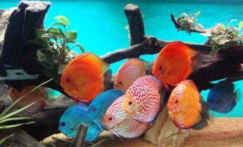 kumpulan ikan discus