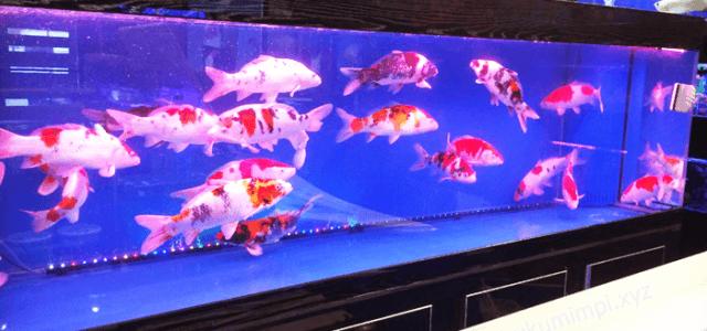 ikan koi di akuarium