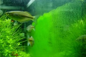 Ikan pemakan alga