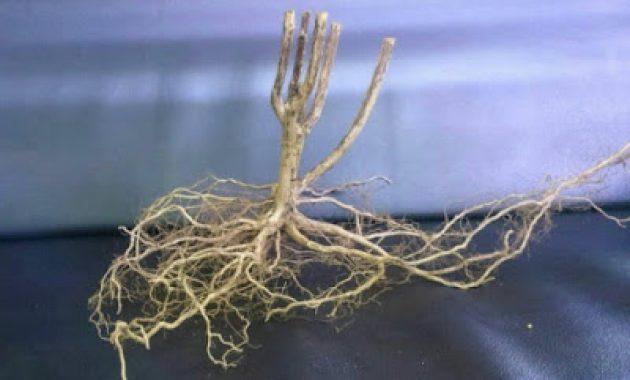 kayu senggani dengan akar banyak