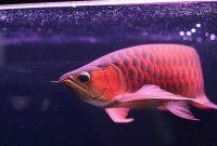ikan arwana super red yang mahal harganya
