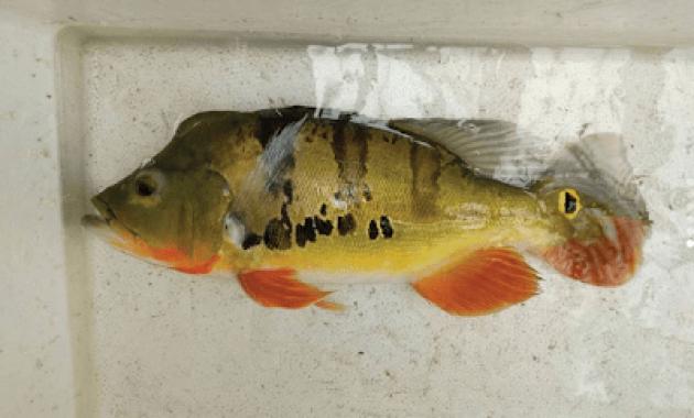 badan ikan pbass