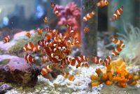 ikan badut warna orange