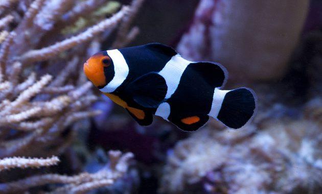 ikan badut warna hitam putih
