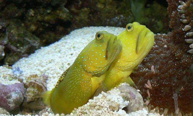 ikan goby bentuknya unik