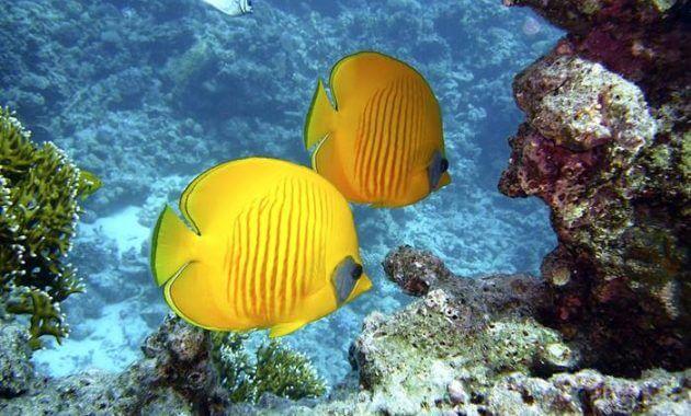ikan kupu kupu air laut