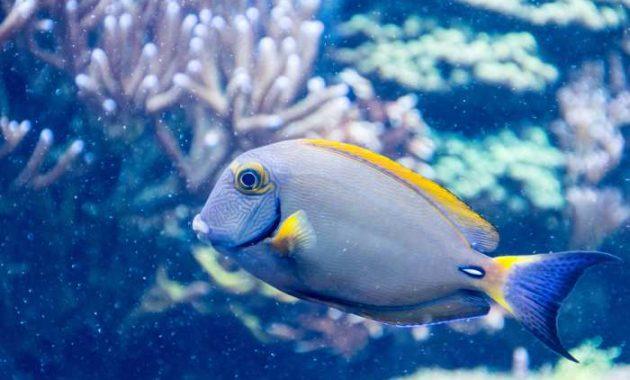 ikan dory di laut