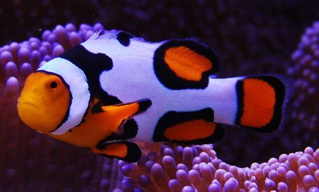 pelihara ikan badut di akuarium