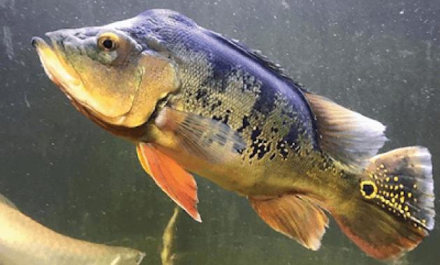 penyebaran ikan peacock bass monoculus