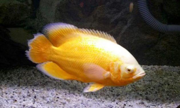 ikan oscar lemon