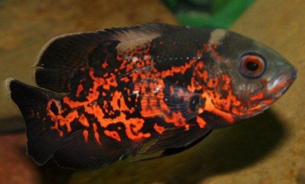 Ikan oscar tiger