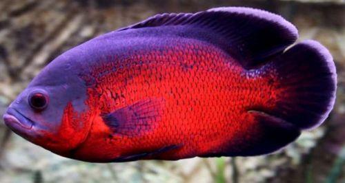 Gambar Ikan Oscar Red atau Merah compressed
