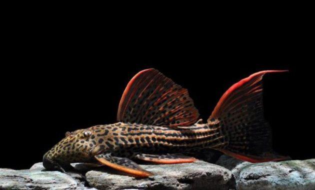 jenis ikan sapu scarlet pleco