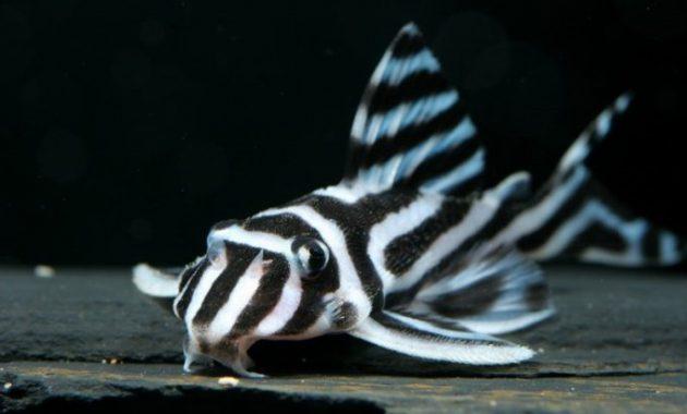 Ikan Sapu-Sapu Zebra Pleco