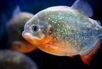 ikan piranha predator paling populer
