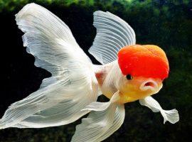 ikan koki cantik