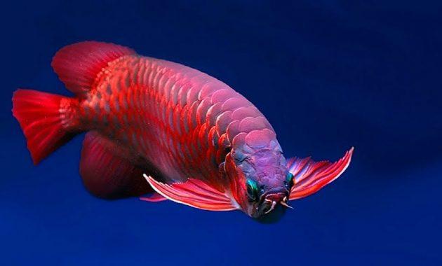 ikan arwana super red dipelihara di aquarium besar