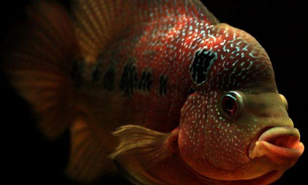 ikan lauhan