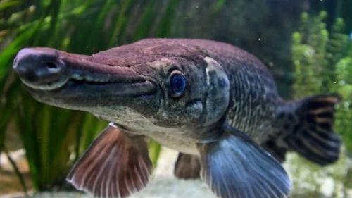 ikan predator yang mulutnya unik