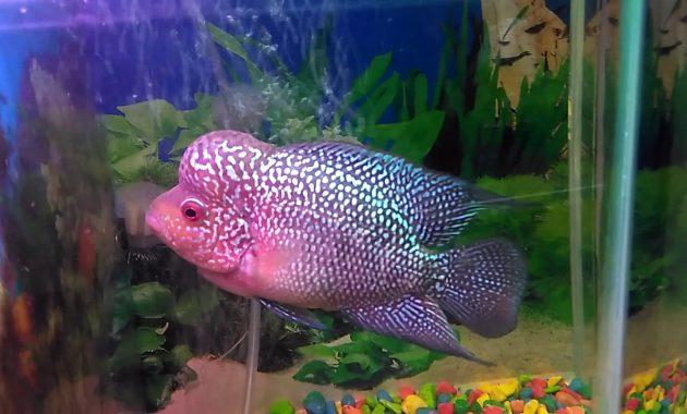 ikan lauhan merah