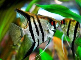 ikan hias Manfish