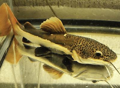 keunikan Redtail Catfish