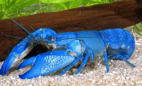 Dark Blue Yabby Lobster