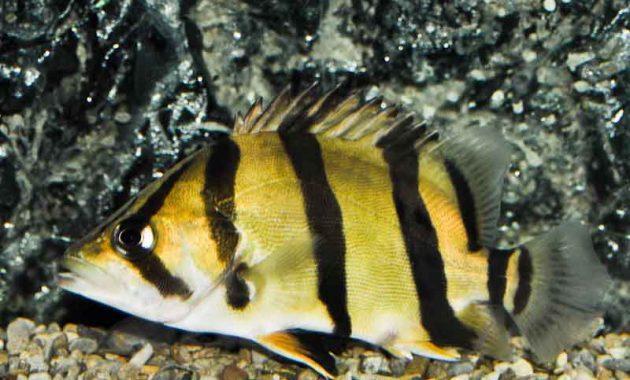 ikan ikan Thinbar Datnoid