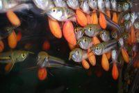 anak ikan arwana