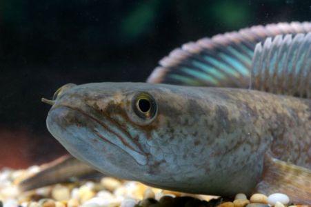 ikan predator yang mirip dengan ikan gabus