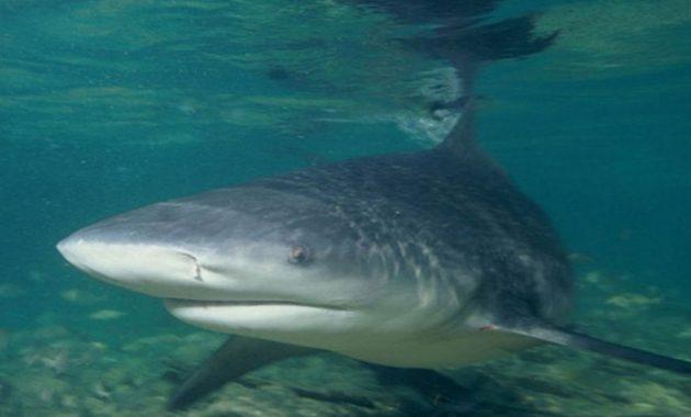 fakta menarik hiu banteng